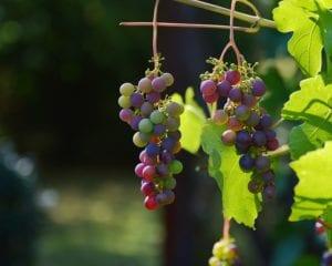 antioxidantes mais poderosos : uva