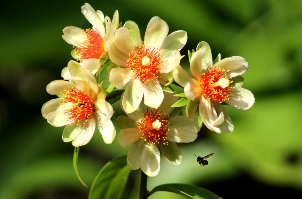Ora-pro-nóbis: 9 Benefícios Surpreendentes dessa Planta